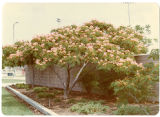 View of Alondra Park mimosa tree